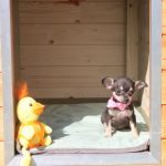 Chihuahua chiot noor