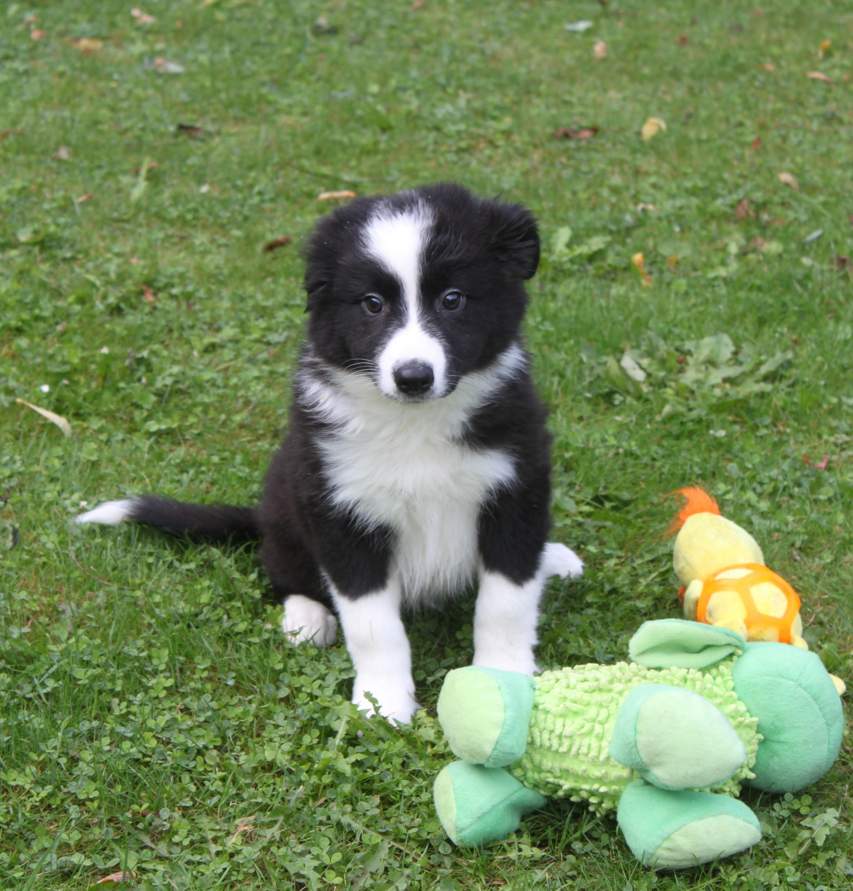 Border Collie chiot Bay-Lee