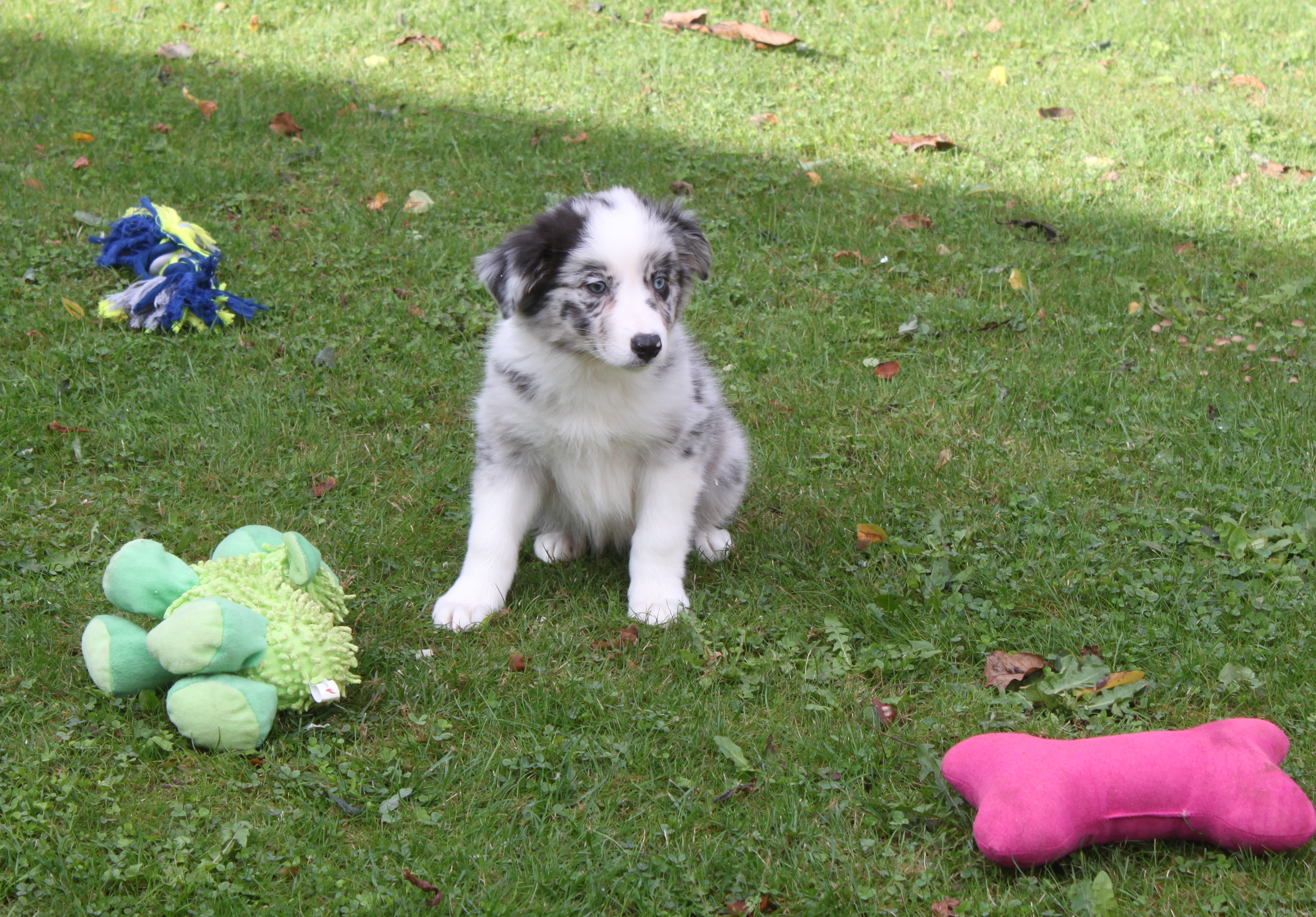 Border Collie puppy Layla