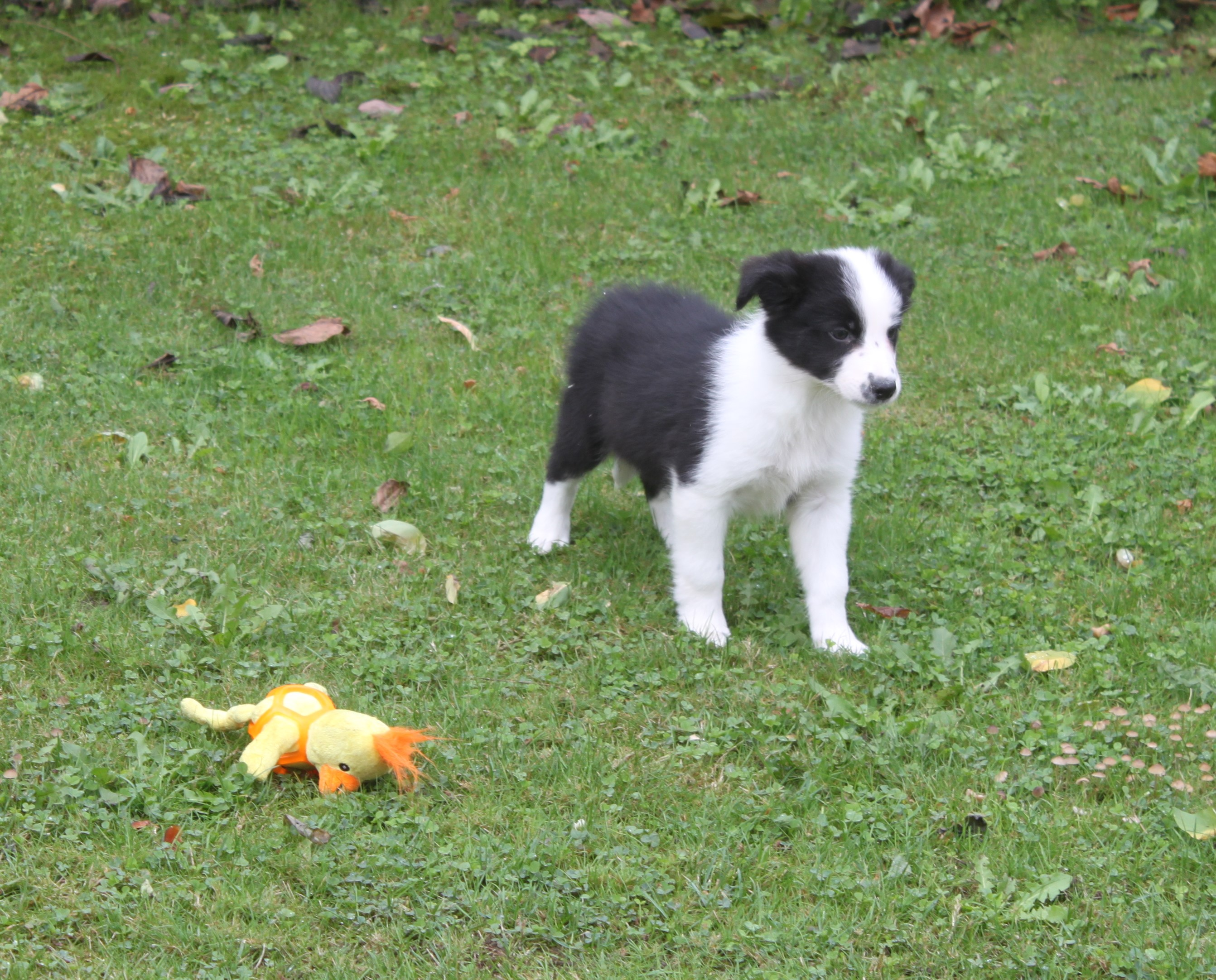 Border Collie puppy Hayla