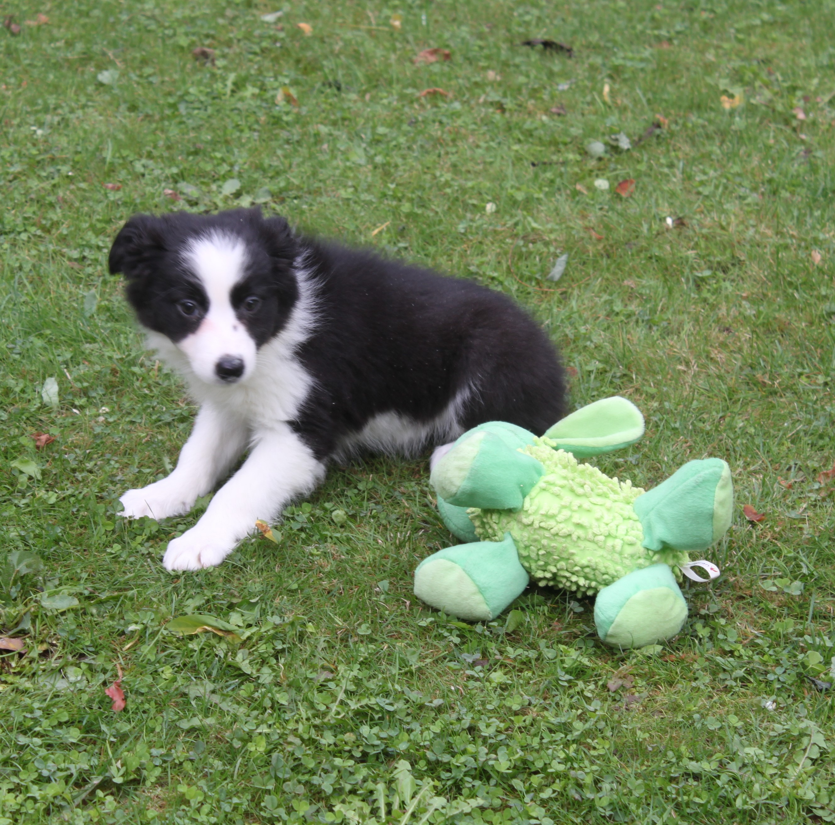 Border Collie puppy Pebbles