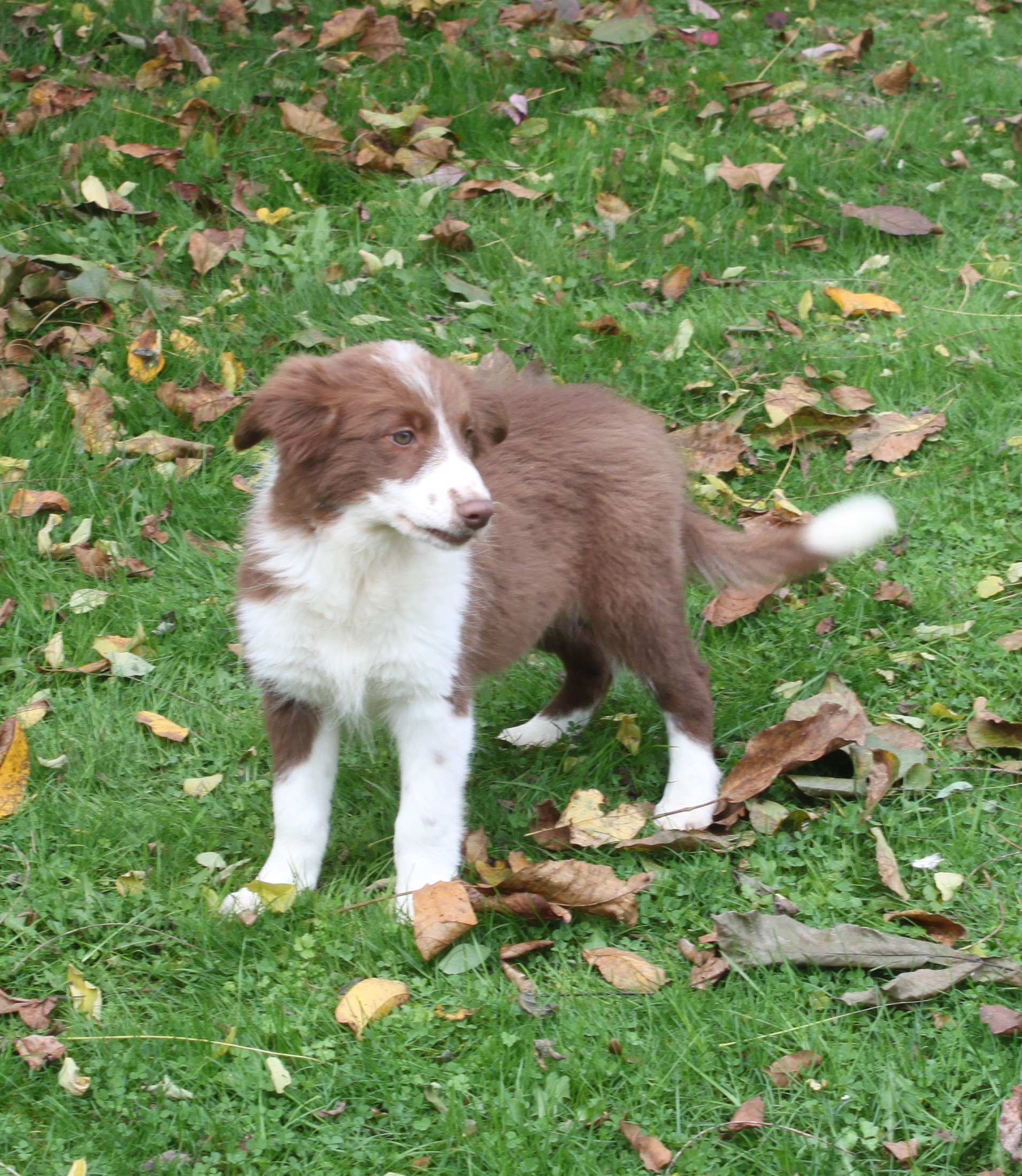 Border Collie puppy Lana