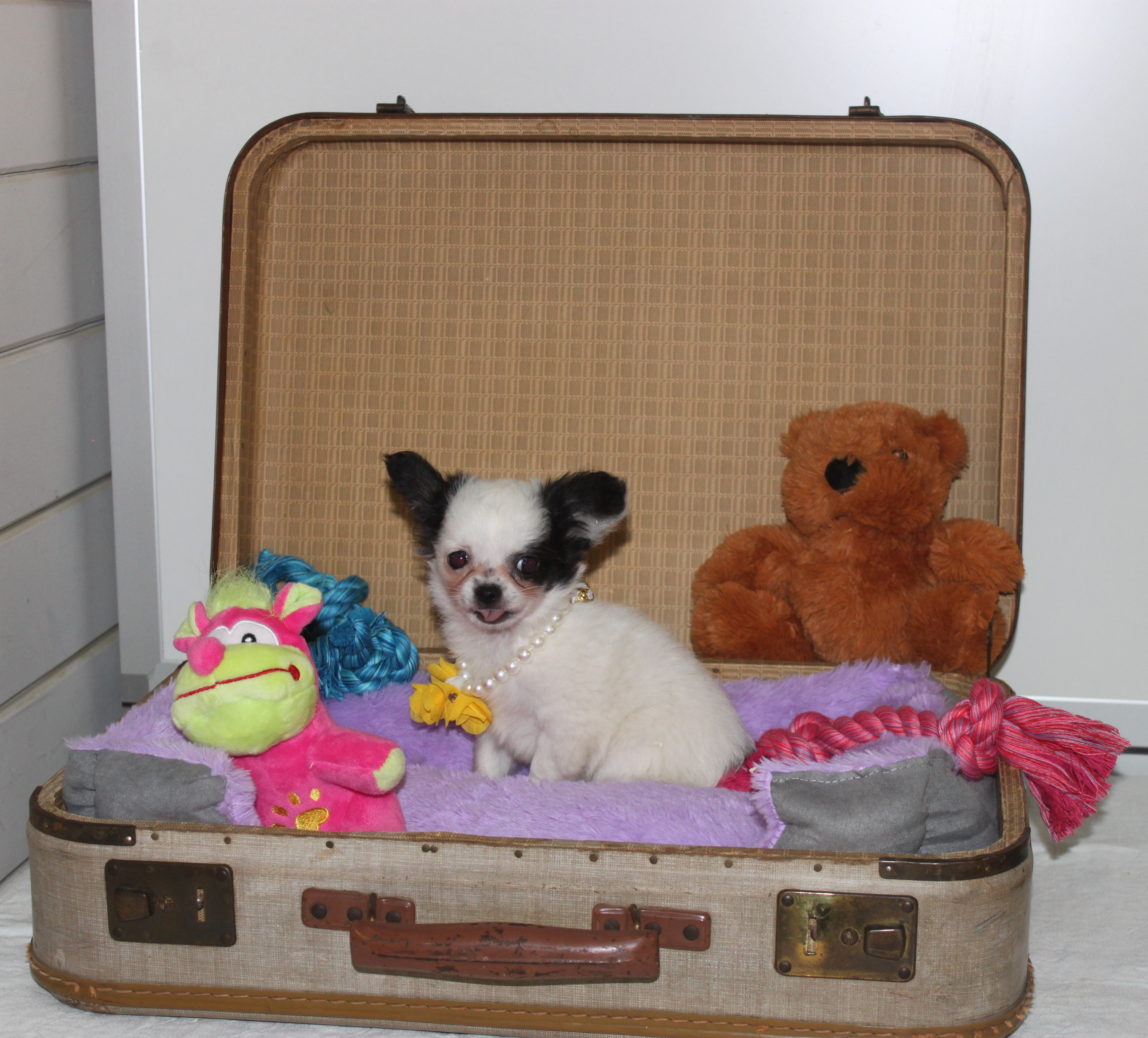 Chihuahua puppy Vince
