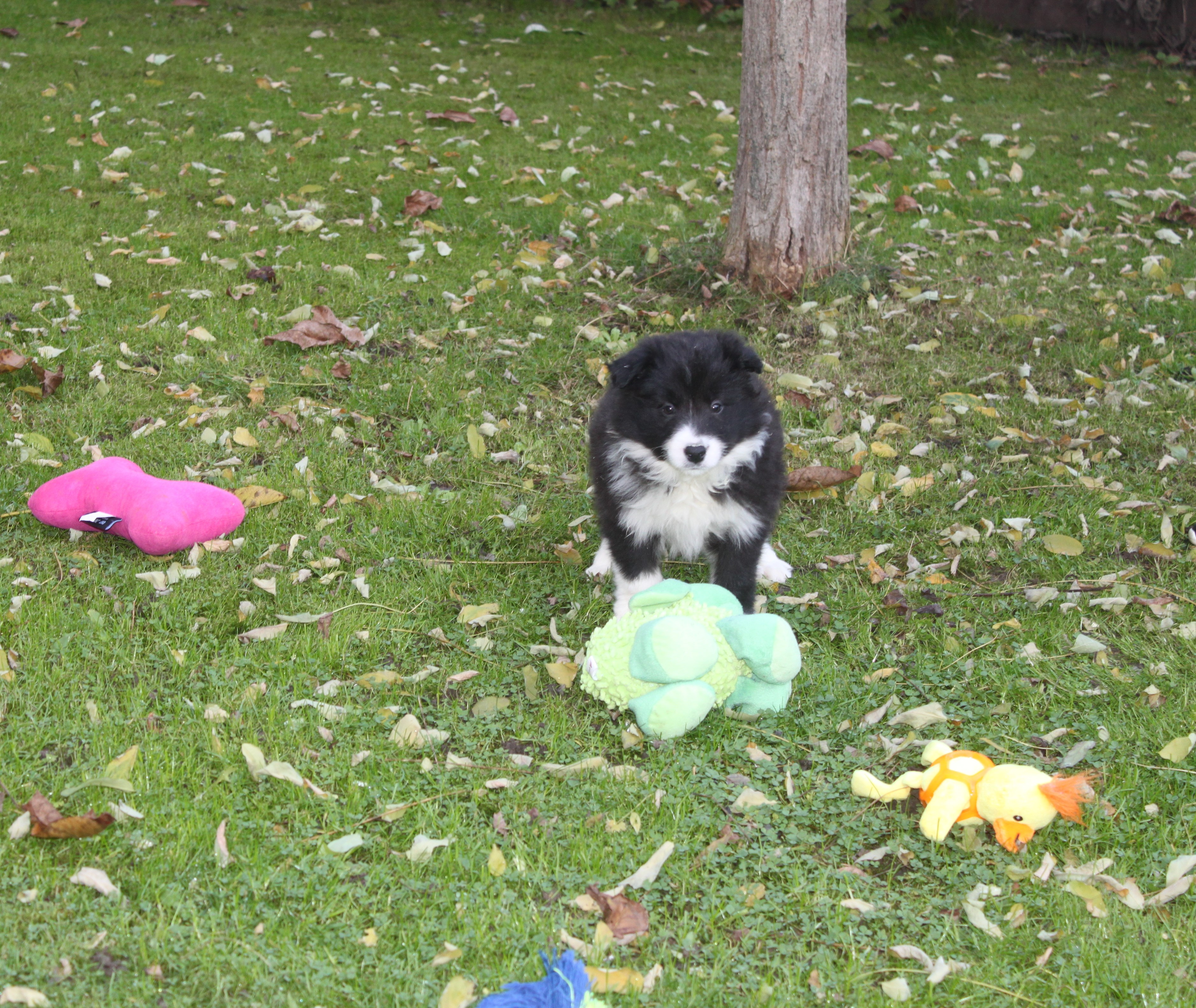 Border Collie Welpe Xenia