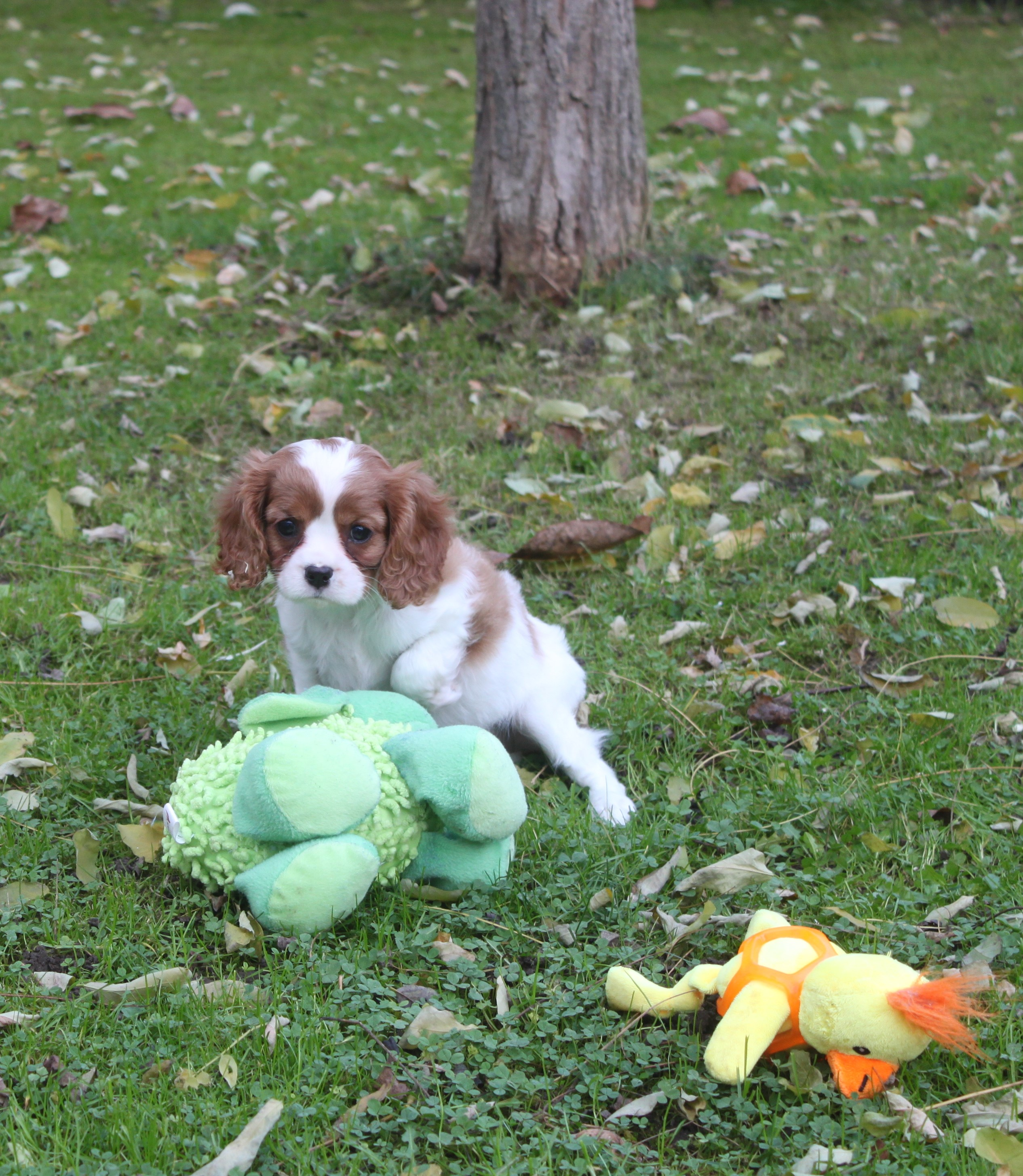 Cavalier King Charles puppy Luci
