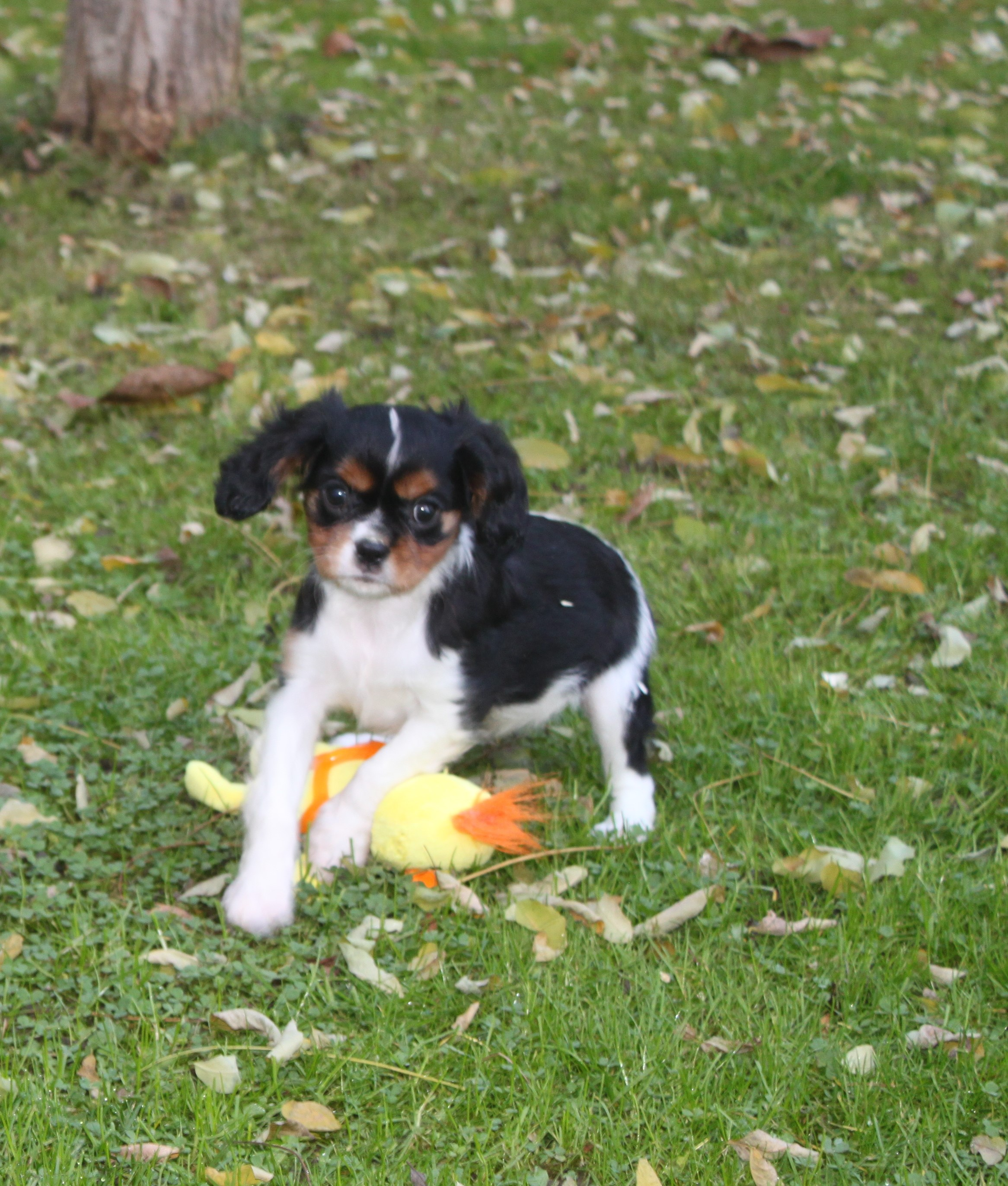 Cavalier King Charles puppy Lady