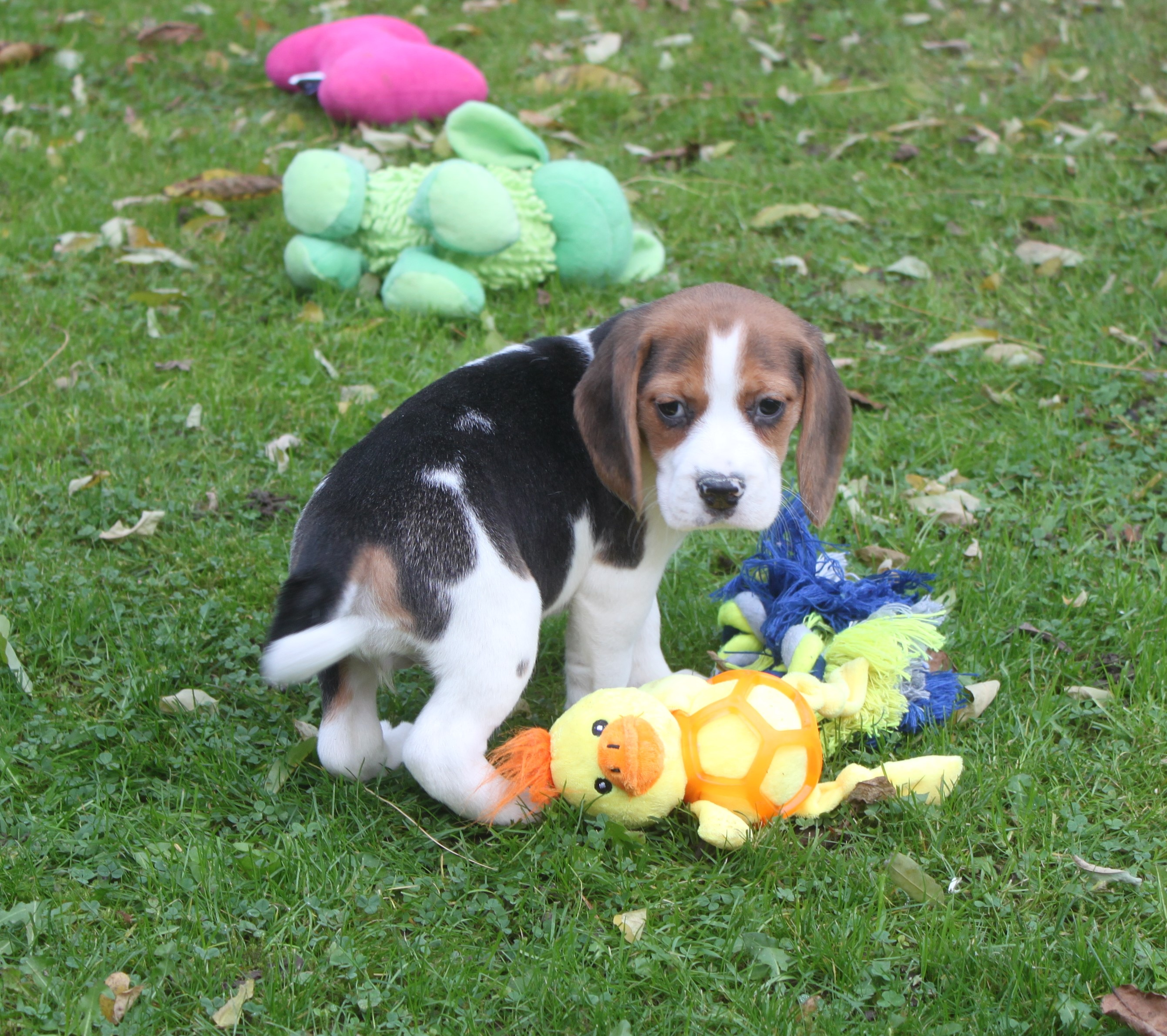 Beagle puppy Pabbles