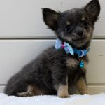 Chihuahua Welpe Arnold