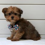 Yorkshire Terrier puppy Nero