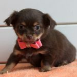 Chihuahua puppy Baby