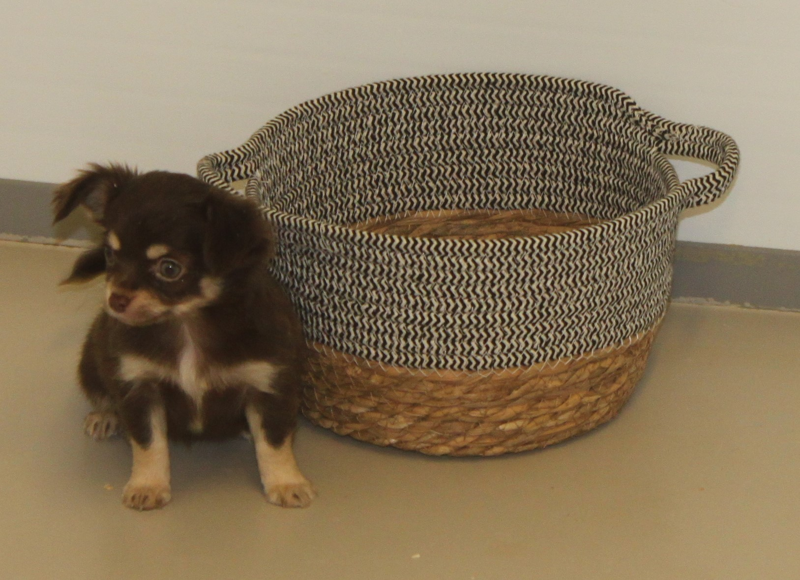Chihuahua puppy Dolly