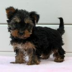 Yorkshire Terrier puppy Gini