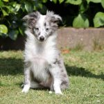 Shelty puppy Archie