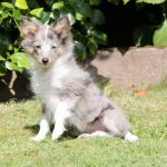 Shelty puppy Alice