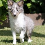 Shelty puppy Ardeen
