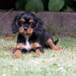 Cavalier King Charles puppy Arnout