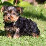 Yorkshire Terrier chiot Wacky