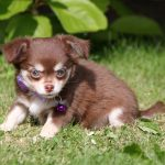 Chihuahua puppy Warber