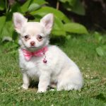 Chihuahua puppy Wasca