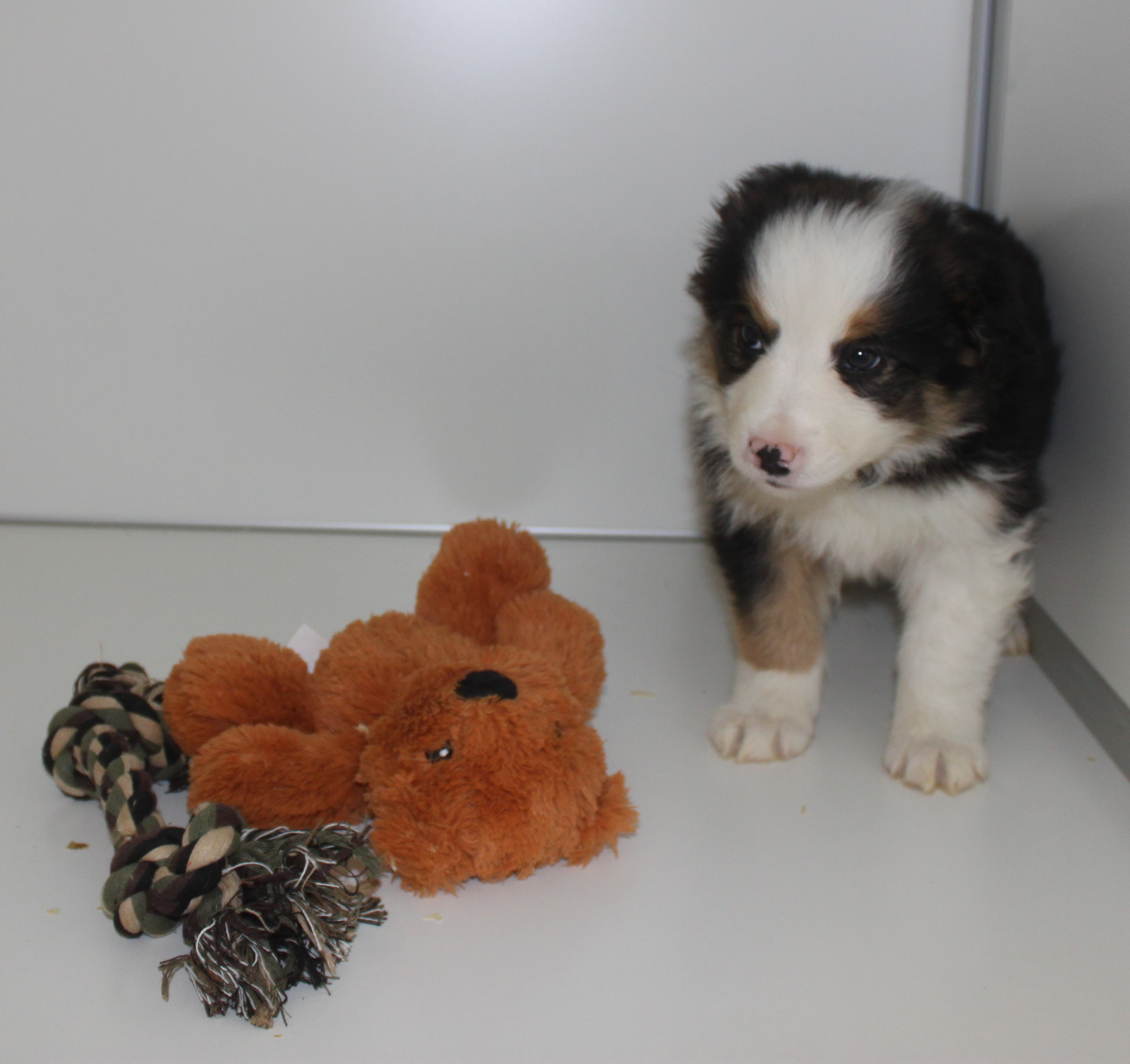 Border Collie chiot Cleo