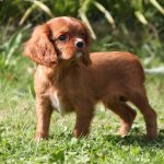 Cavalier King Charles puppy Selvin