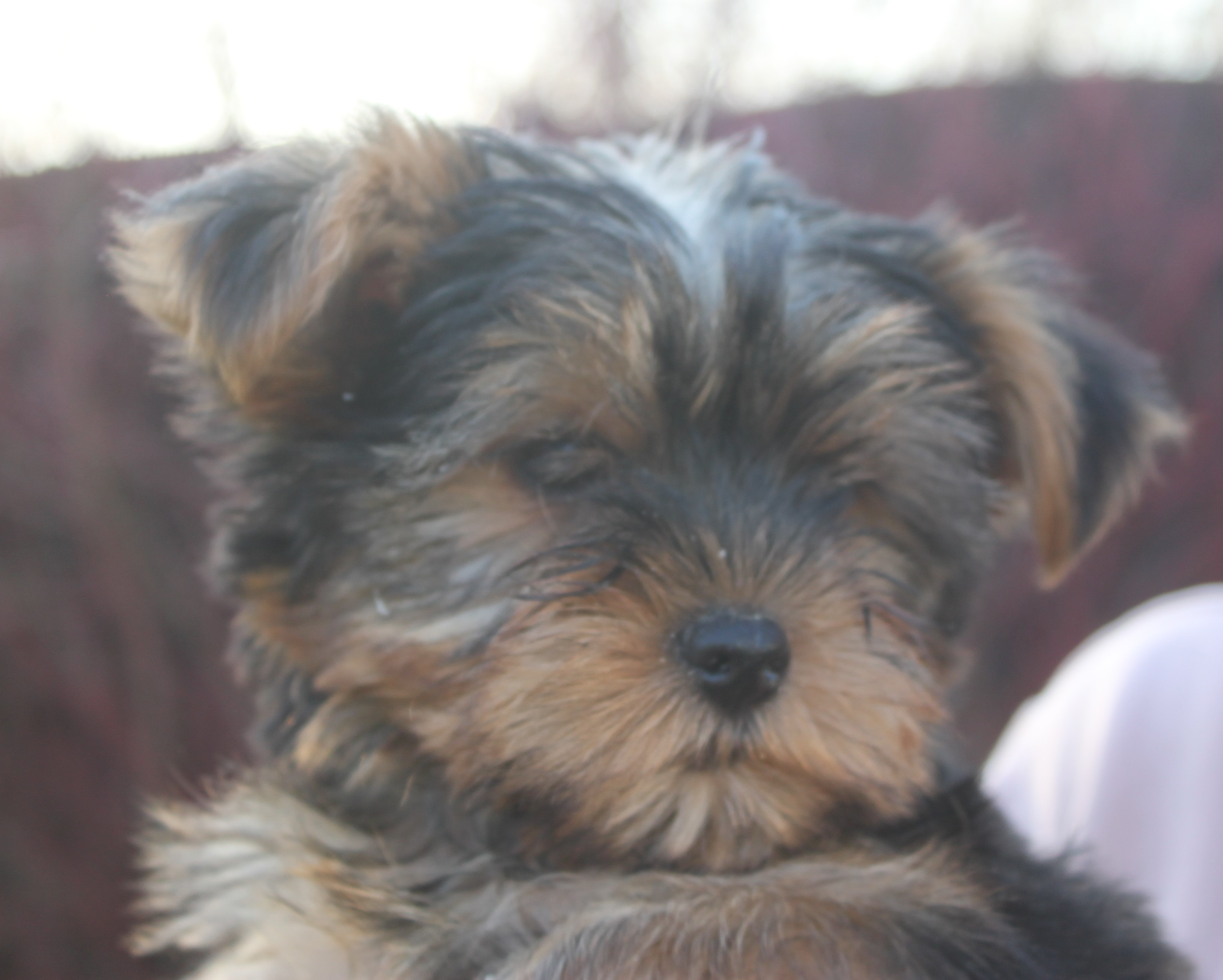 Yorkshire Terrier puppy Robbe
