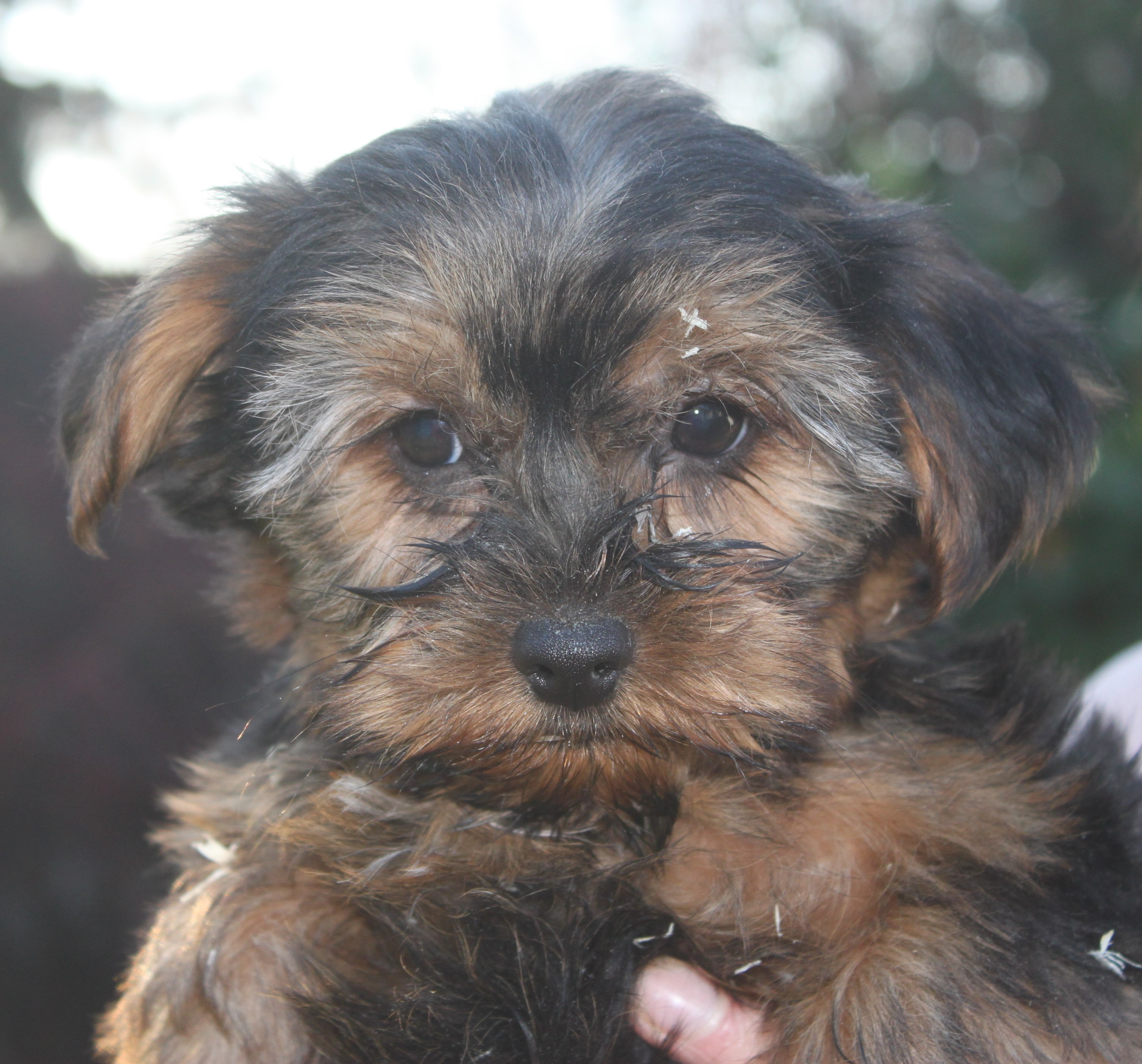 Yorkshire Terrier puppy Robbedoes